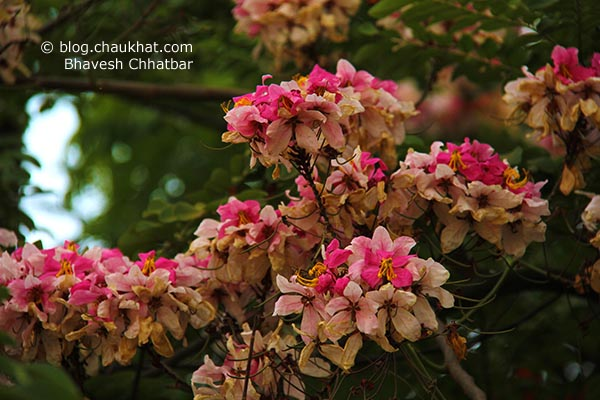 Beautiful Java Cassia Flowers - Pink Shower, Rainbow Shower, Apple Blossom Cassia, Cassia agnes (de Wit) Brenan, Nodding Cassia, Pink Cassia [Other names] - Cassia Javanica [Binomial/Scientific name] - Caesalpiniaceae [Family — same as Gulmohar]